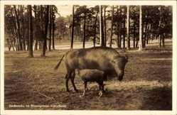 Postcard Schorfheide bei Berlin, Nachwuchs im Wisentgehege, Bison