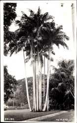 Postcard Port of Spain Trinidad Tobago, Palms, Palmen, Feldweg