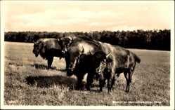 Postcard Born, Wisente im Naturschutzgebiet Darß, Rinder, Wiese, Wald