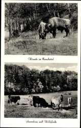 Postcard Erkrath, Partie aus Neandertal, Wildgehege, Wisente, Auerochsen, Wildpferde