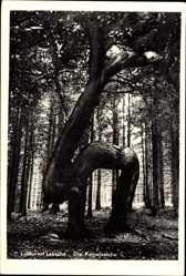 Postcard Bad Laasphe im Kreis Siegen Wittgenstein, Kamelseiche