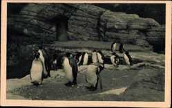 Postcard Hamburg Eimsbüttel Stellingen, Carl Hagenbecks Tierpark, Pinguine
