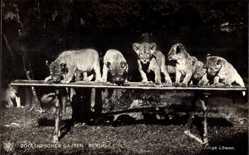 Postcard Berlin Tiergarten, Zoologischer Garten, Junge Löwen
