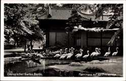 Postcard Berlin Tiergarten, Zoologischer Garten, Flamingos auf der Freianlage