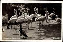 Postcard Zoologischer Garten Berlin, Flamingos im Gehege, Wildgans